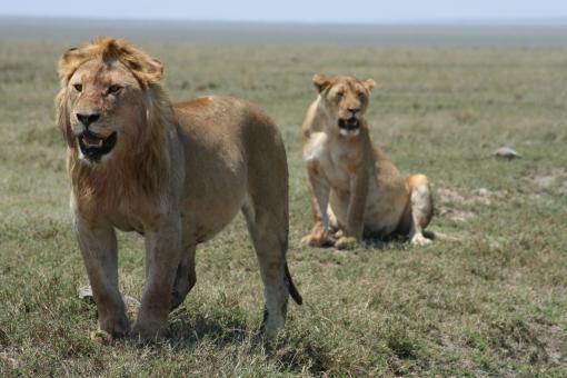 serengeti-lions
