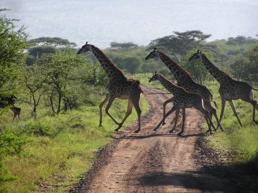 serengeti_migration_5(1)