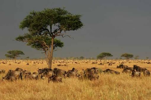 wildebeest-snp-a5539g
