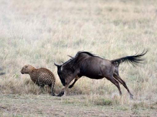 011d58d6b4a32ec0ce9b_wildebeest_6