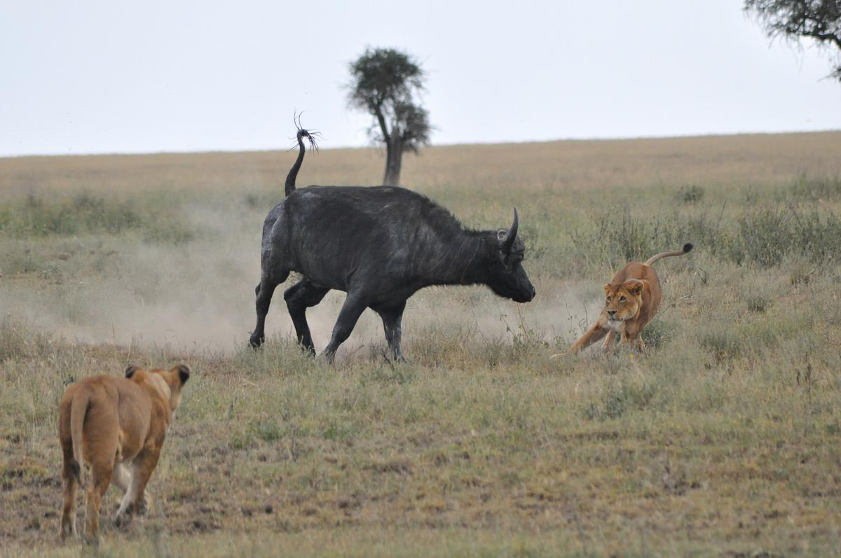 21- Lionesses Hunting Buffalo 01
