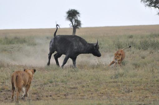 21- Lionesses Hunting Buffalo 01