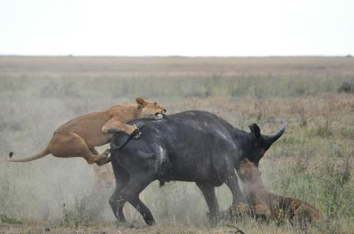 22- Lionesses Hunting Buffalo 09