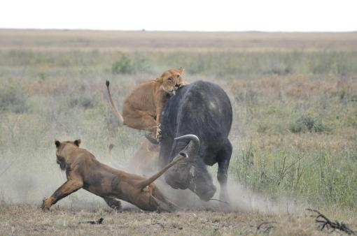25- Lionesses Hunting Buffalo 12