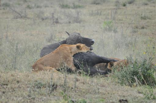 29- Lionesses Hunting Buffalo 21 - Resting and Dying