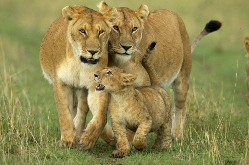 african animals and wildlife safaris dangerous lions hunting