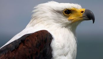 7 Highly Effective Habits of Eagles | PARENTS ALLIANCE OF