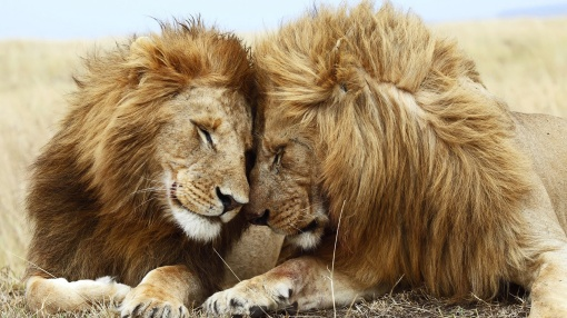 African-lion-lovers
