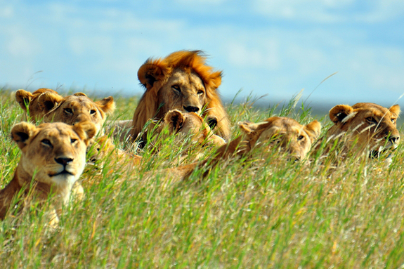 african-lion-pride