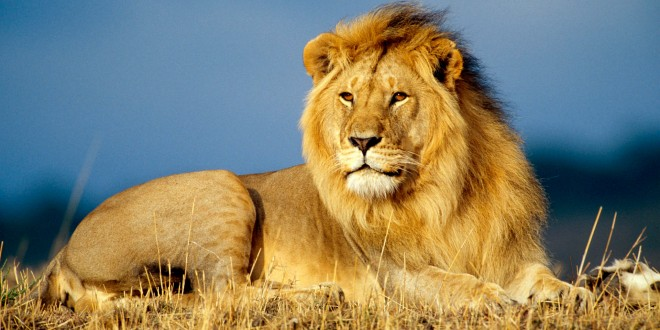 african-lion-wallpapers-hd-660x330