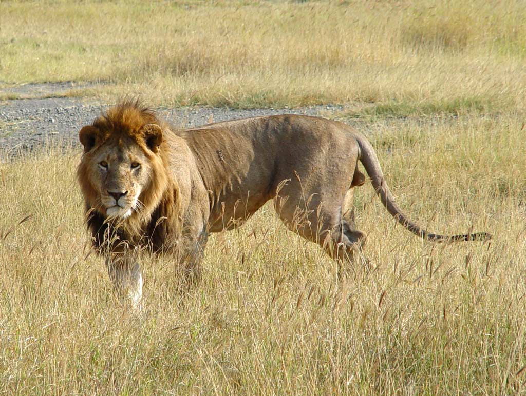 -african-lion