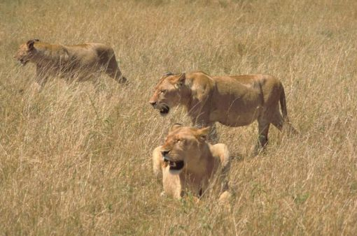 African_lions_in_hunting
