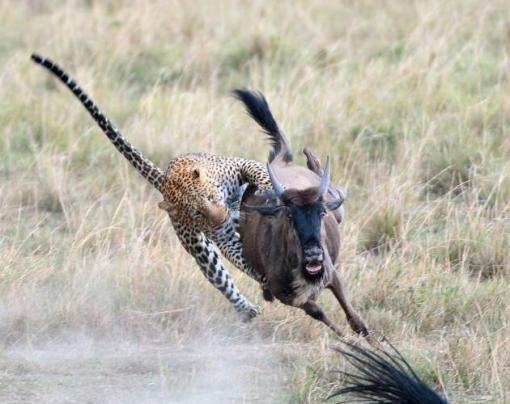 b256240ab843b3cdaf89_wildebeest_3