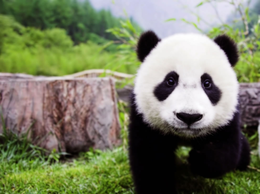 Pandas conservation education worldwide | PARENTS ALLIANCE ...