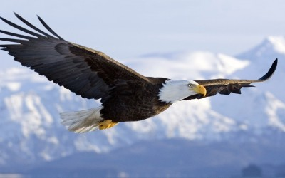bald eagle wallpapers flight - Seven Leadership Principles To Learn From An Eagle