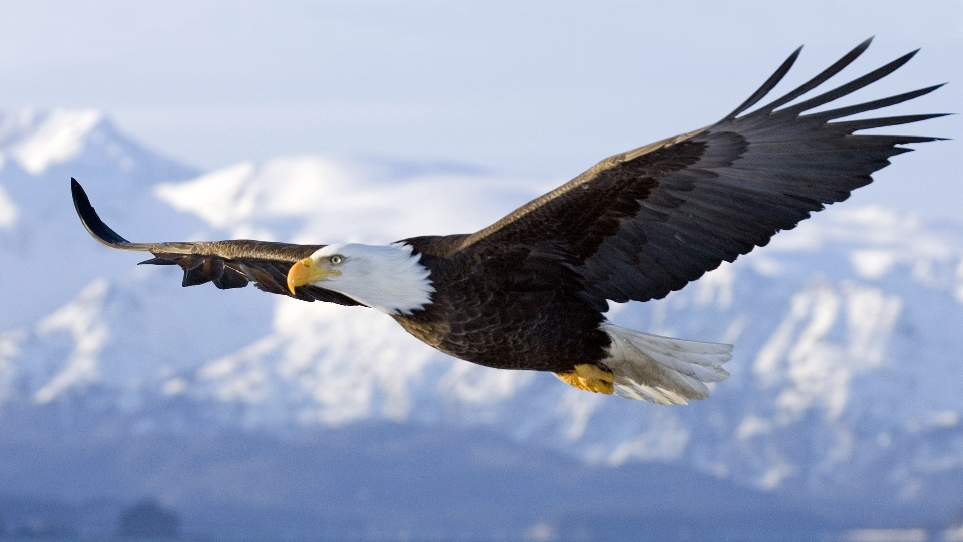 Must see   Wallpaper Horse Eagle - bald-eagle  Photograph_18522.jpg