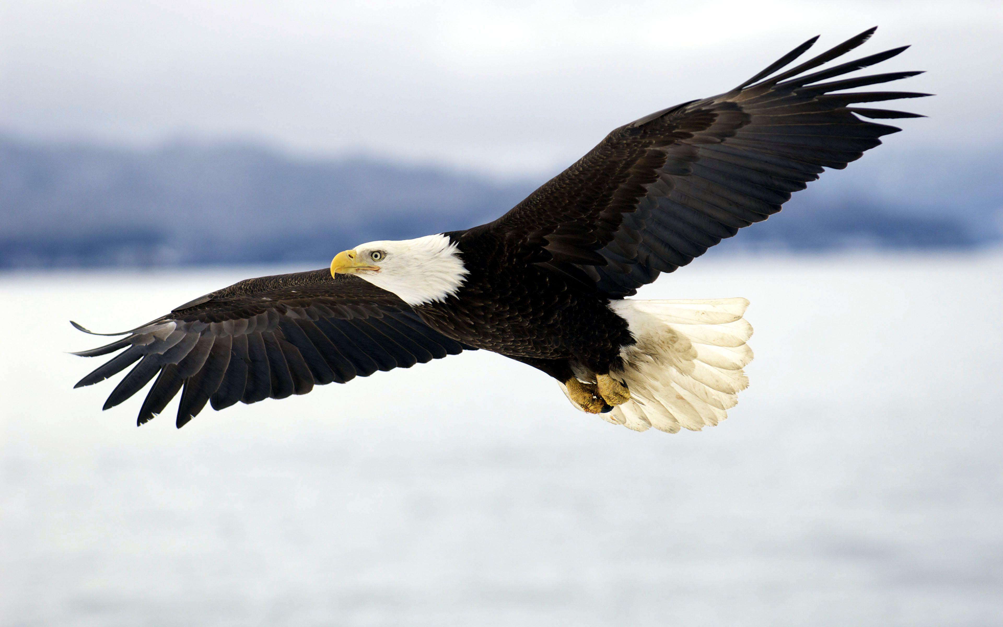 the background information about the habitat and feeding habits of the sea eagle or erne Golden eagle populations appear to have been stable between 1966 and 2015, according to the north american breeding bird survey partners in flight estimates their global breeding population to be 300,000 with 35% spending some part of the year in the us, 15% in canada, and 3% in mexico.