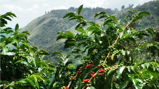 Blue-Mountain-Coffee-Tree