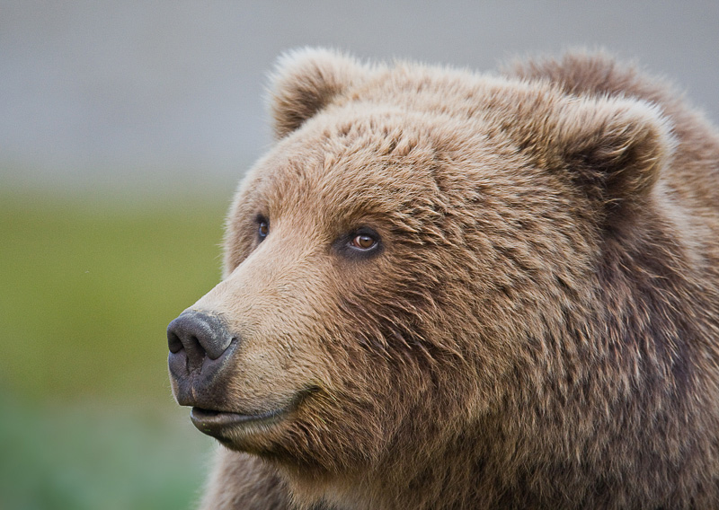 Grizzly Bears of Yellowstone National Park   pgcps mess - Reform ...