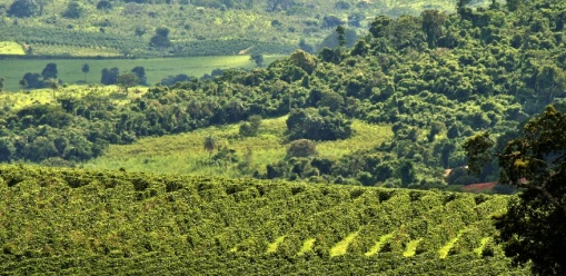 Coffee-Plantation-