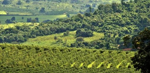 Coffee-Plantation-