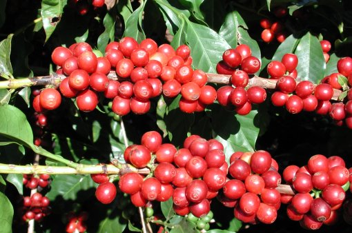 Coffee%20cherries%20at%20Monte%20Alegre