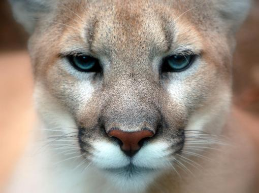 Cougar_closeup