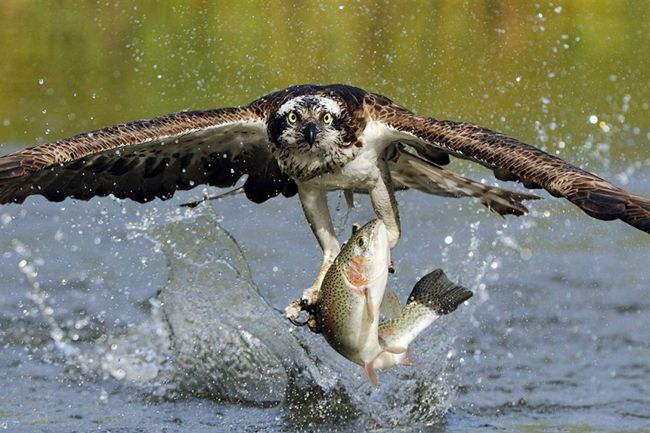 Brave eagle catch fish help change the world the for Osprey catching fish
