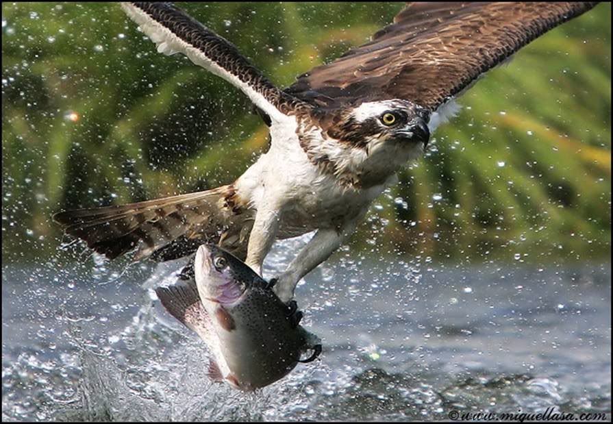 Brave Eagle Catch Fish Parents Alliance Of Prince Georges County
