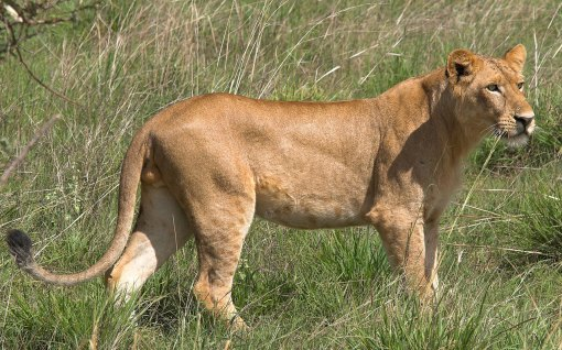male lion weight - HD1280×800