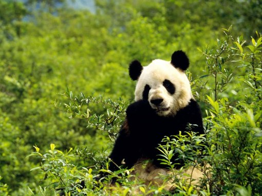 Giant-panda-little-snack