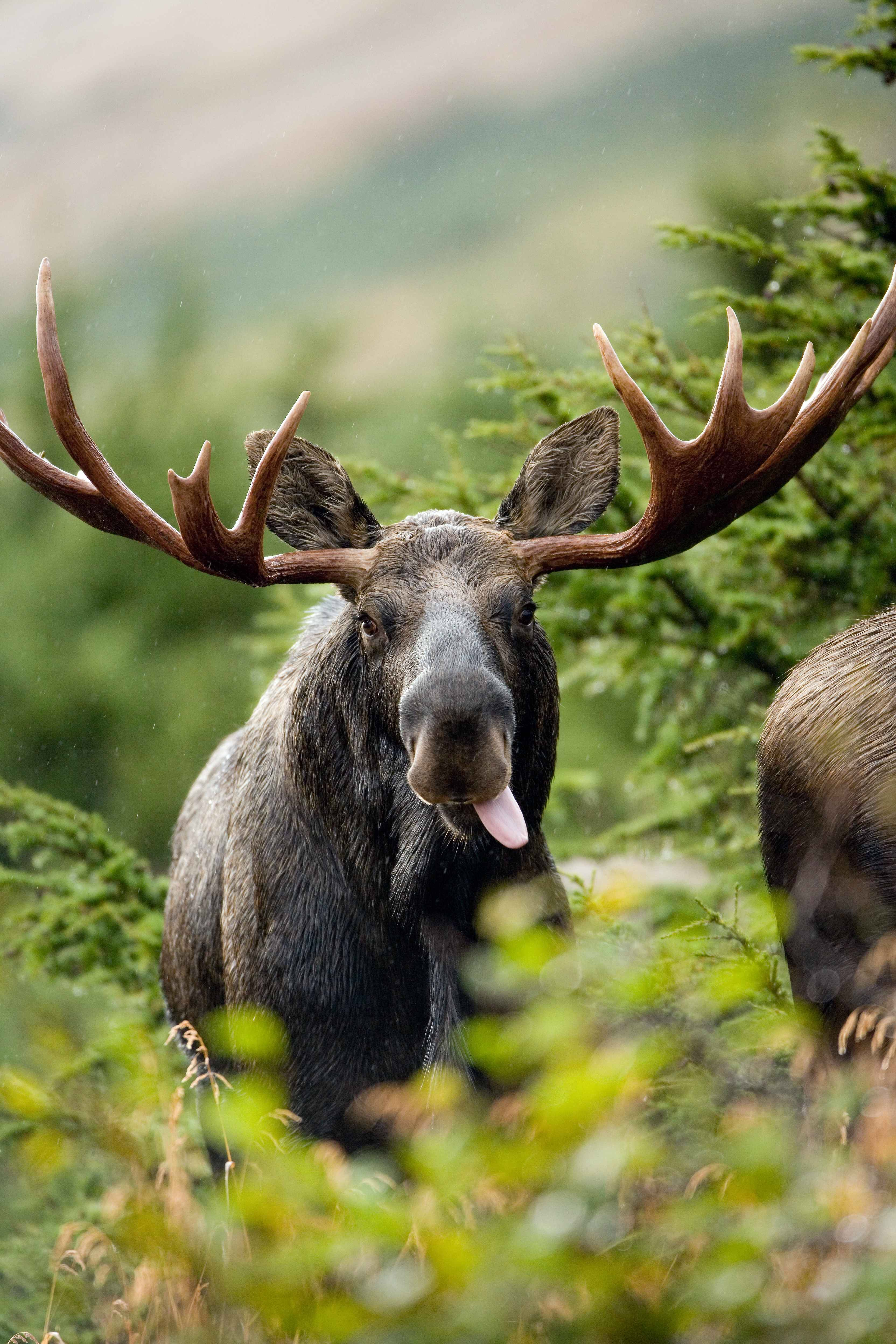 Alces Alces Alces alces also known as the