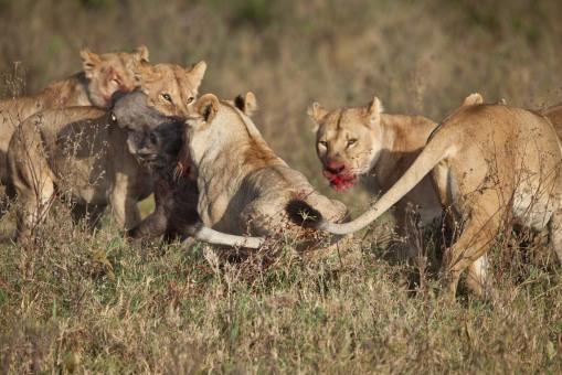 Lion-Hunt-3