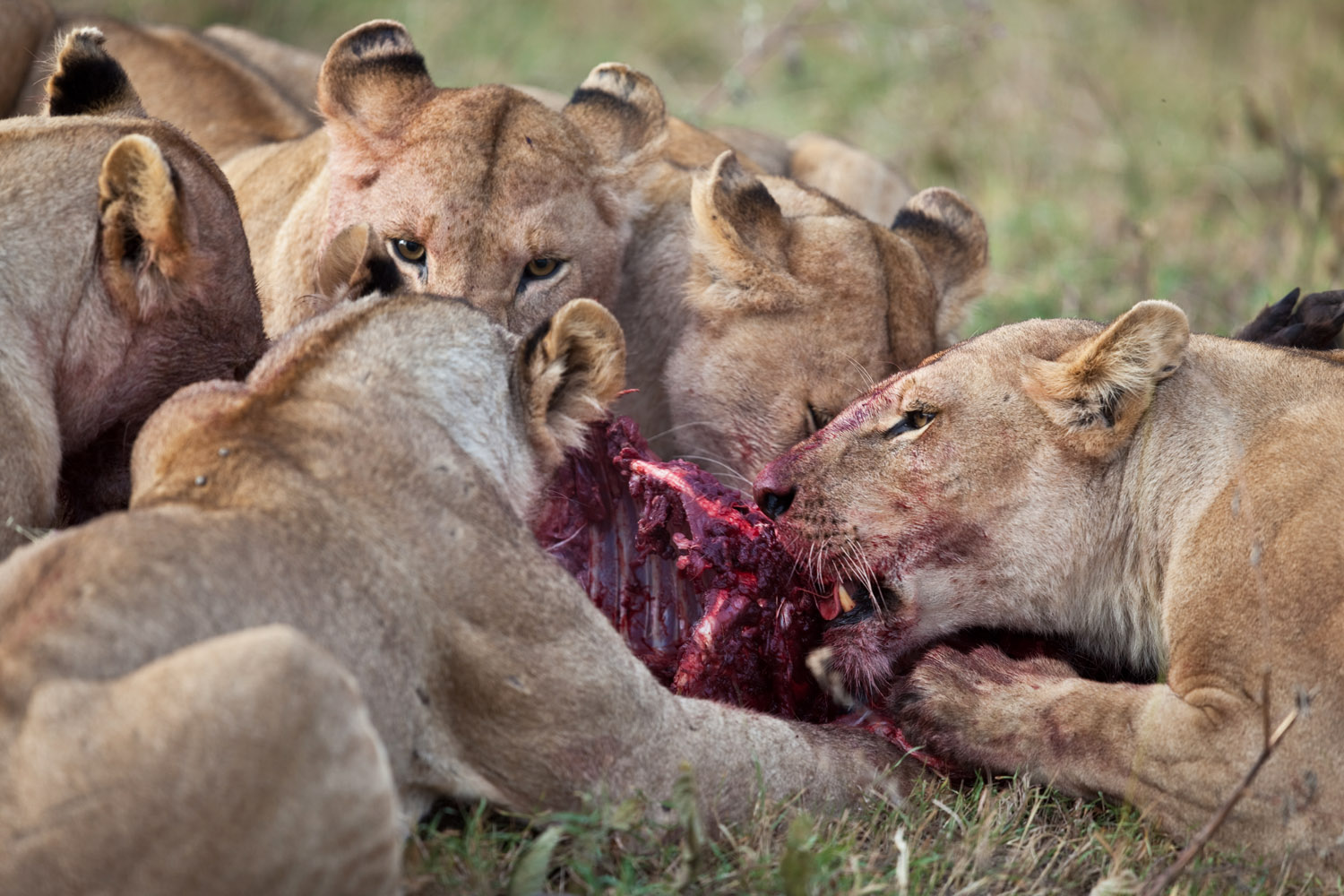 lions hunting together