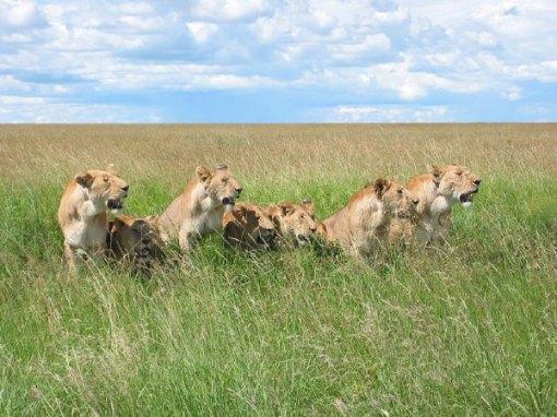 lion-pack