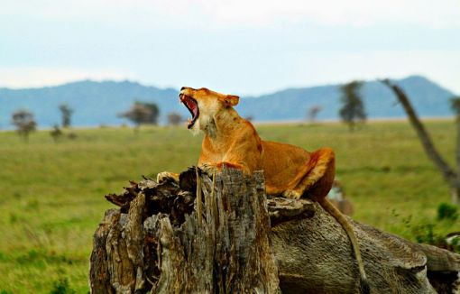 Lion_Serengeti