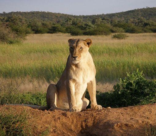 _Lioness