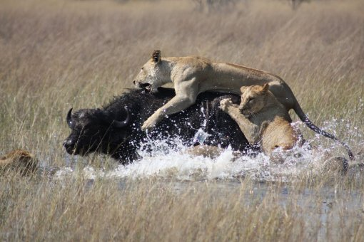 Lions_hunting_Africa