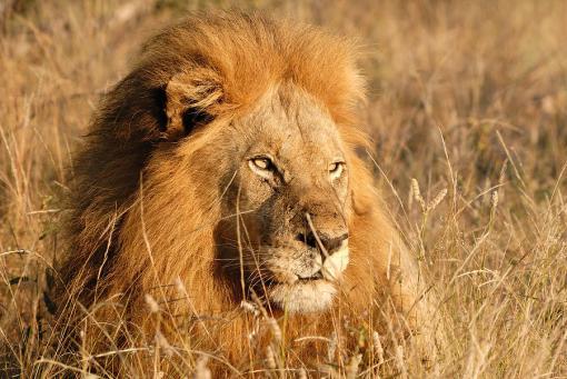male-lion-