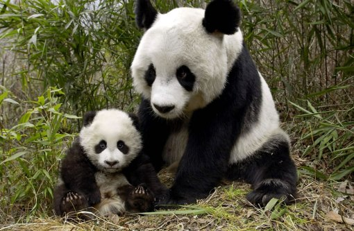 Mother-and-Cub-giant-pandas-at-Wolong-National-Nature-Preserve