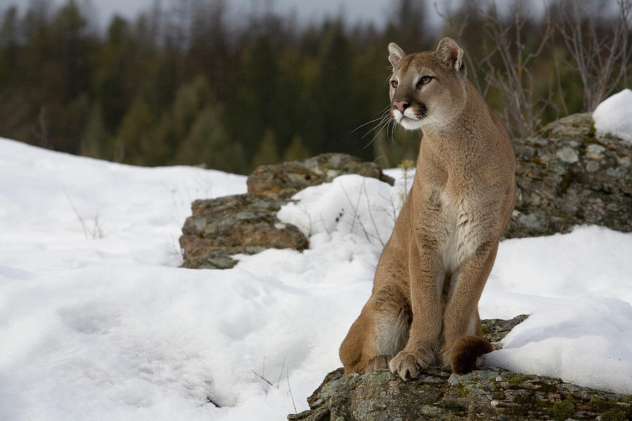 mountain lion cougar pgcps mess reform sasscer without delay. Black Bedroom Furniture Sets. Home Design Ideas