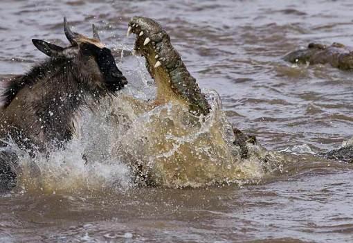Nile-Crocodile-attacking-Wildebeest-calf-Mara-river-Masai-Mara-Kenya_MG_2817-J