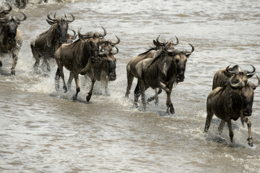 original_wildebeest_1