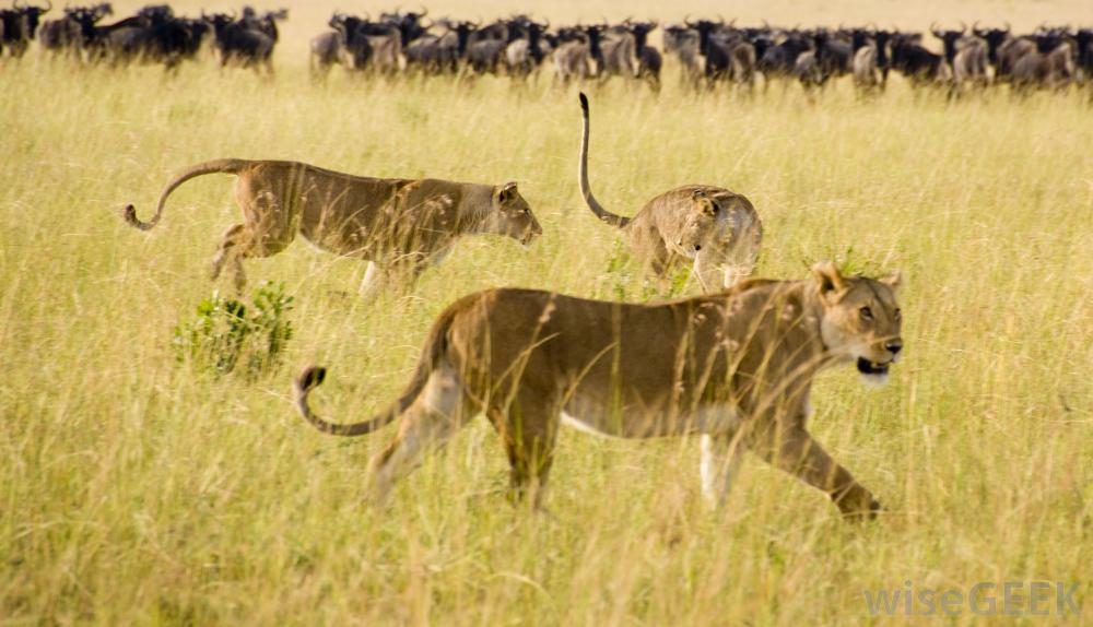pack-of-lions-hunting