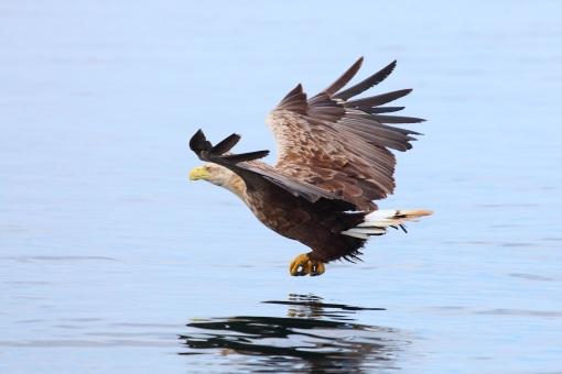 Sea Eagle fishing 1