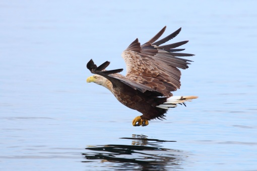 Sea Eagle fishing 1