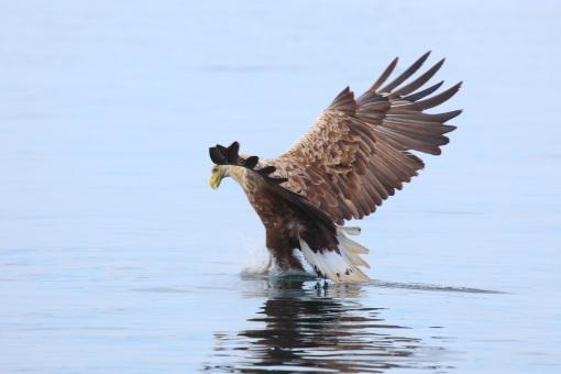 Sea Eagle fishing 2