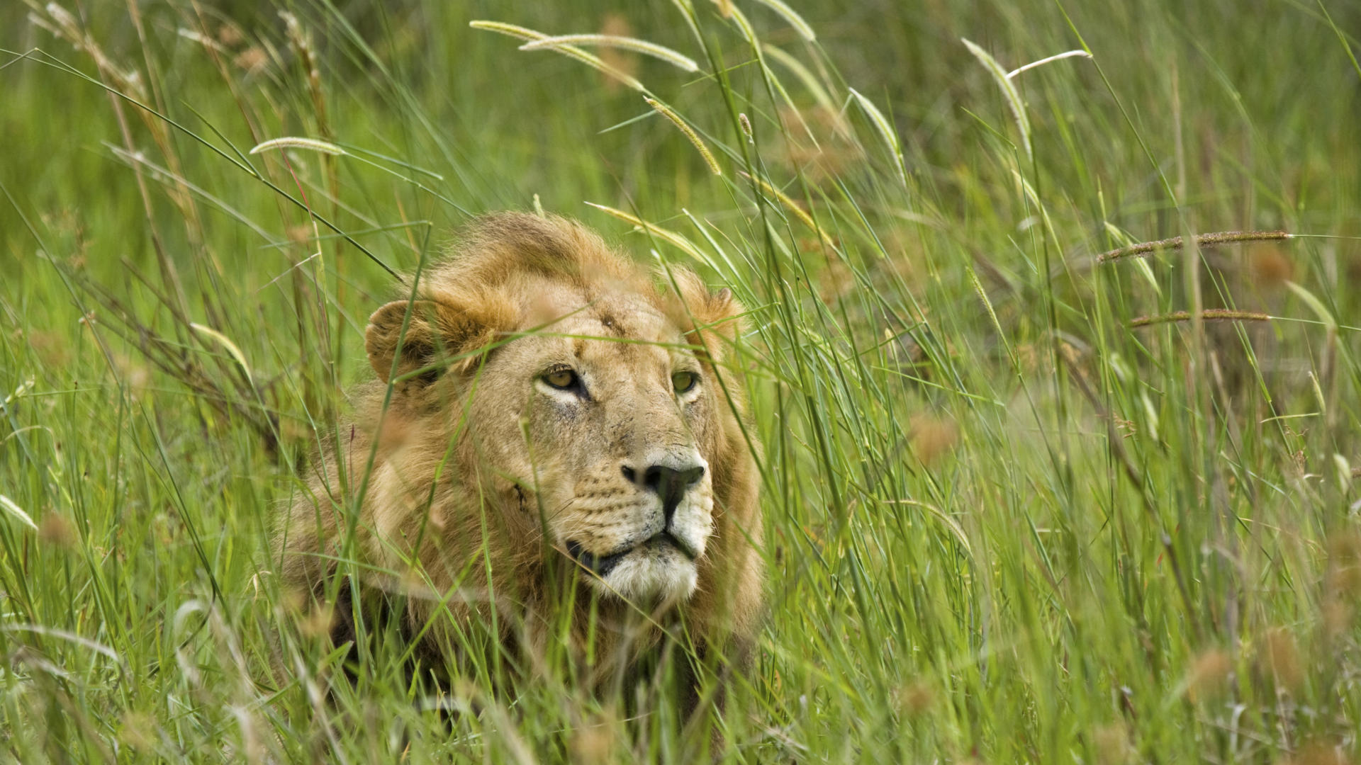 african lions - photo #20