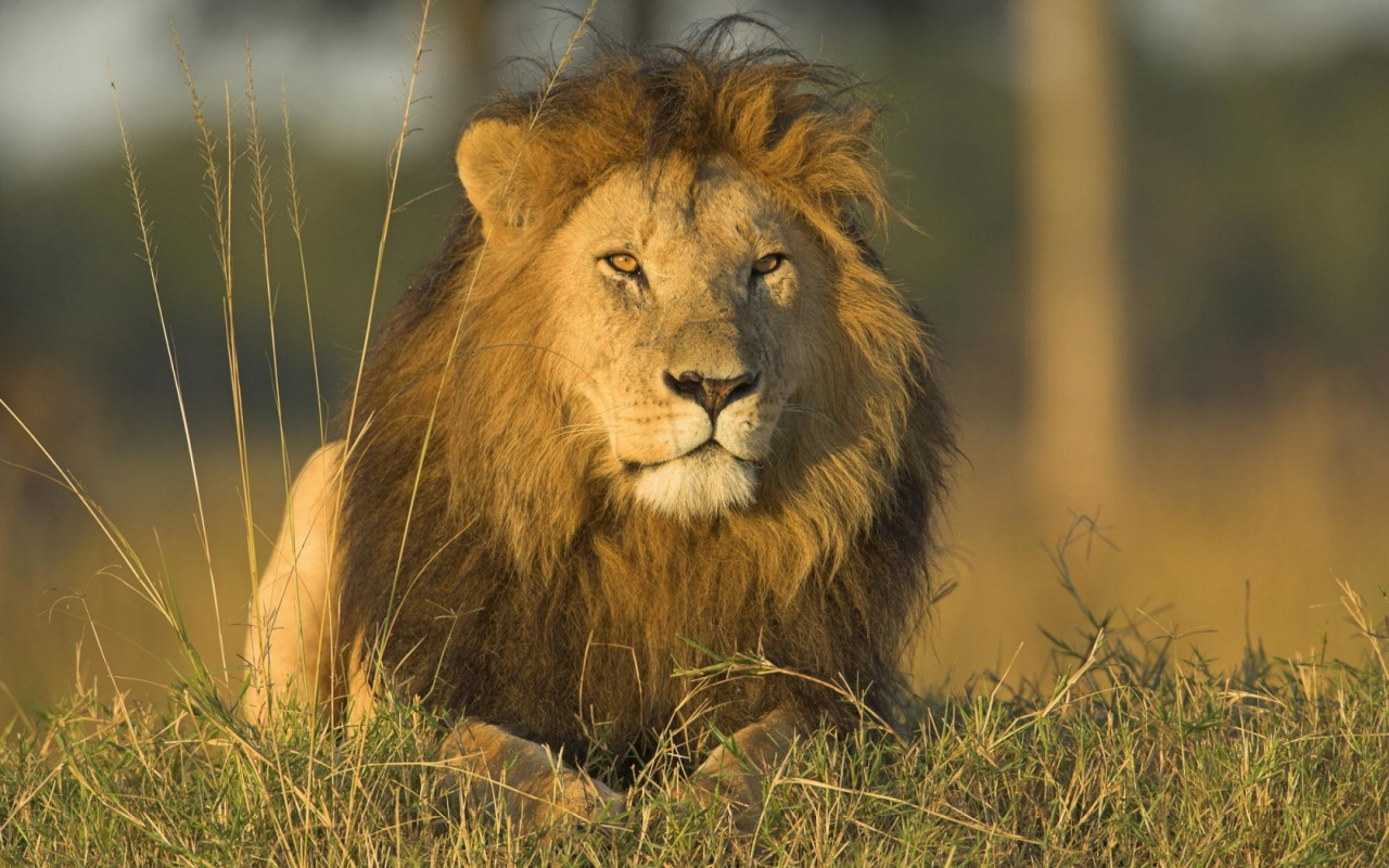 The African lion. | pg...