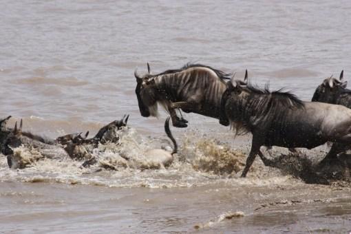 Wildebeest-153